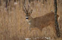 Large Roe Deer buck