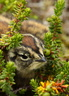 Rock Ptarmigan Chick
