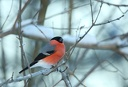 Eurasian Bullfinch (male)