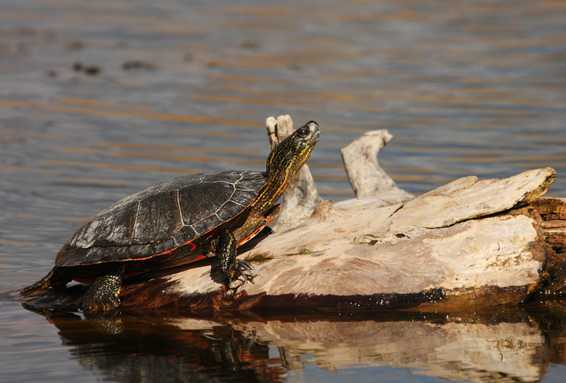 painted-turtle2.jpg