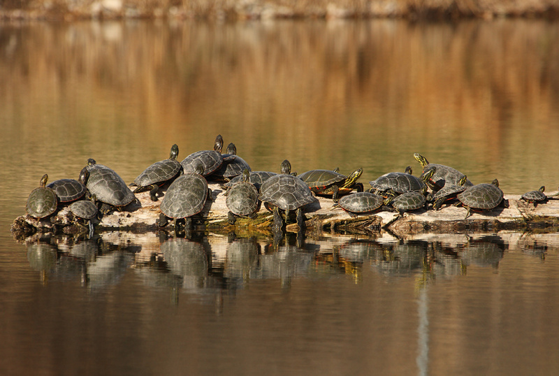 Painted-turtles.jpg