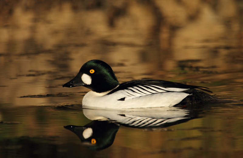 Common Goldeneye, Male