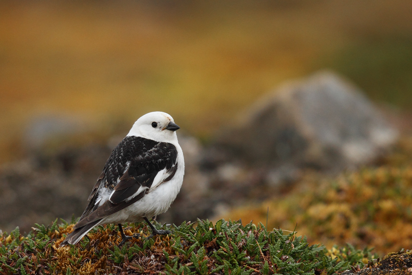 Snow Bunting (male)